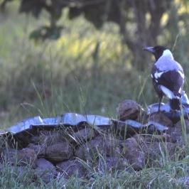 Strobe Driver magpie