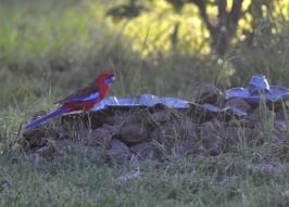 Strobe Driver Parrot