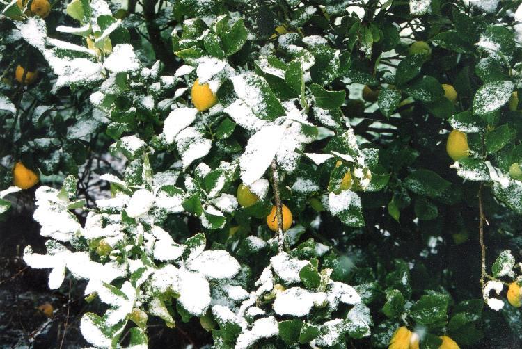 Dawn Whitehand snow lemons