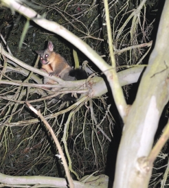 Brushtail possum central victoria