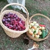Pear and Apple Harvest