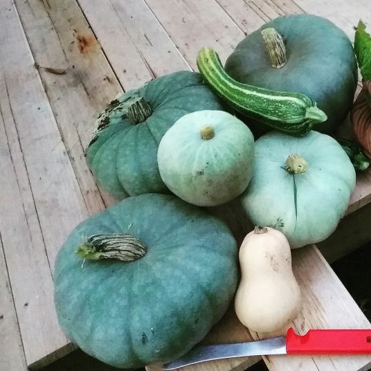 Some of the pumpkin harvest